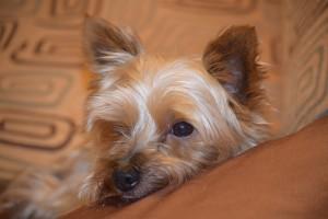 DogWebShop Kutyapanzió - Tyson